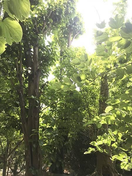 [售]蘋婆/鳳眼果成樹/移植袋裝-現場挑選與報價