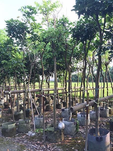 各種行道樹/景觀樹移植袋裝-現場挑選與報價