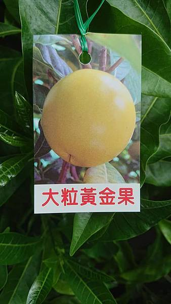 [售]大粒黃金果嫁接苗/請先來電詢價