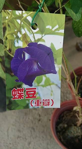 [售]蝶豆花實生苗/請先來電詢價