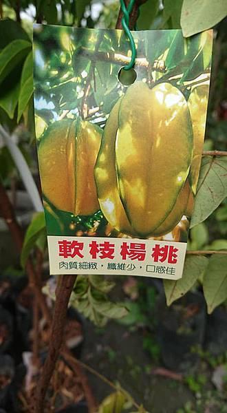 [售]軟枝楊桃嫁接苗/請先來電詢價