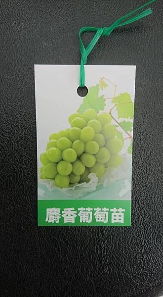 [售]麝香葡萄苗/請先來電詢價