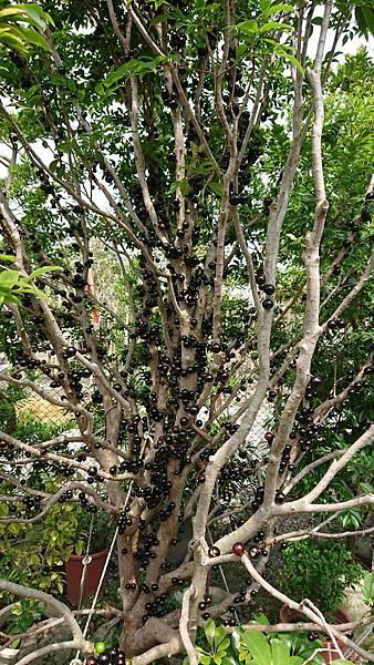 [售]沙巴樹葡萄移植袋裝/現場挑選與報價