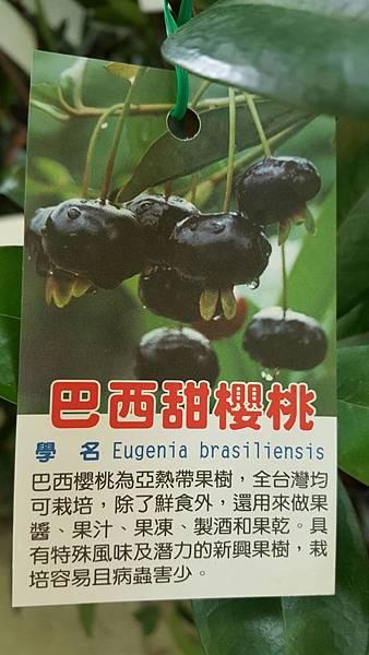 [售]巴西櫻桃樹/限面交自運