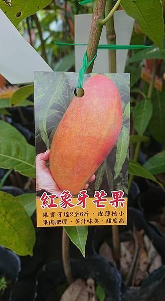 [售]紅象牙芒果嫁接苗/請先來電詢價