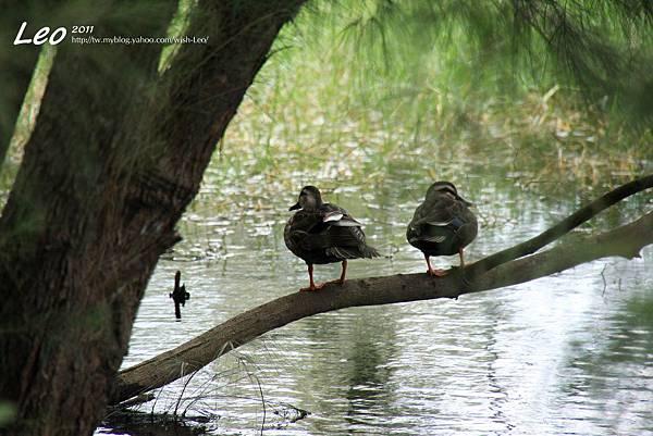 台東森林公園.野鴨