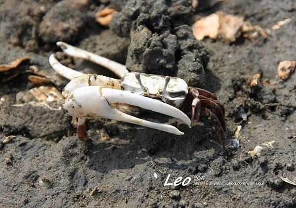 招潮蟹 (4)