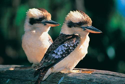 6EC_kookaburra-pair