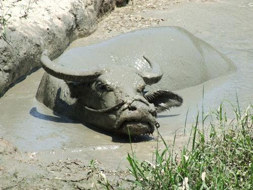 水牛泡泥巴浴