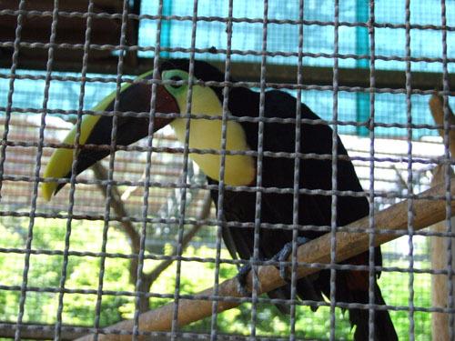 叢林區-大嘴鳥