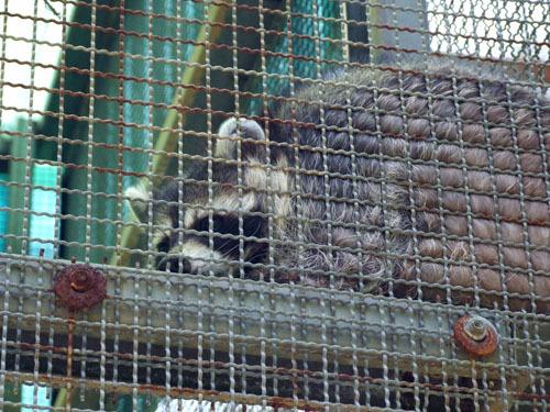 叢林區-浣熊
