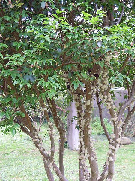 001~樹葡萄.jpg