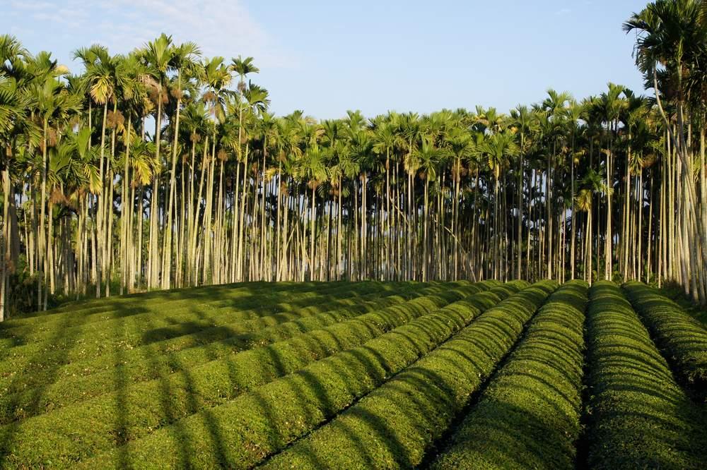 茶園檳榔樹.JPG