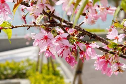 25漂亮的櫻花.JPG
