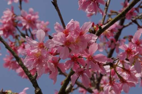 26漂亮的櫻花.JPG