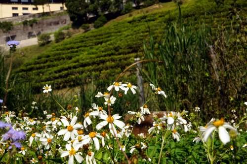 69茶園與小花.JPG
