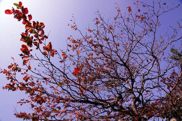 欖仁樹的天空2.JPG