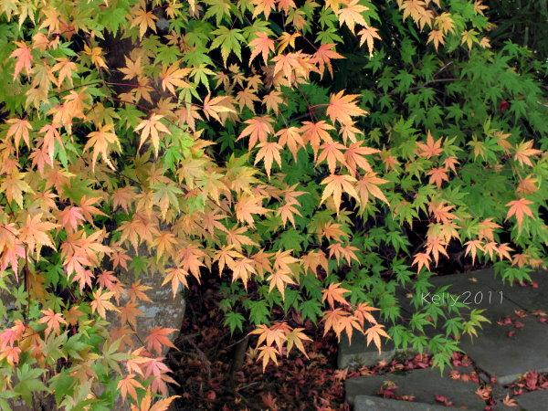 福壽山農場楓紅 Canon G12 068