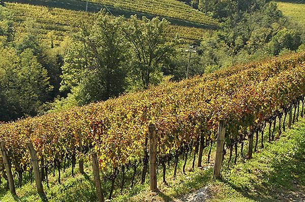 Radikon-Merlot-vineyard.jpg