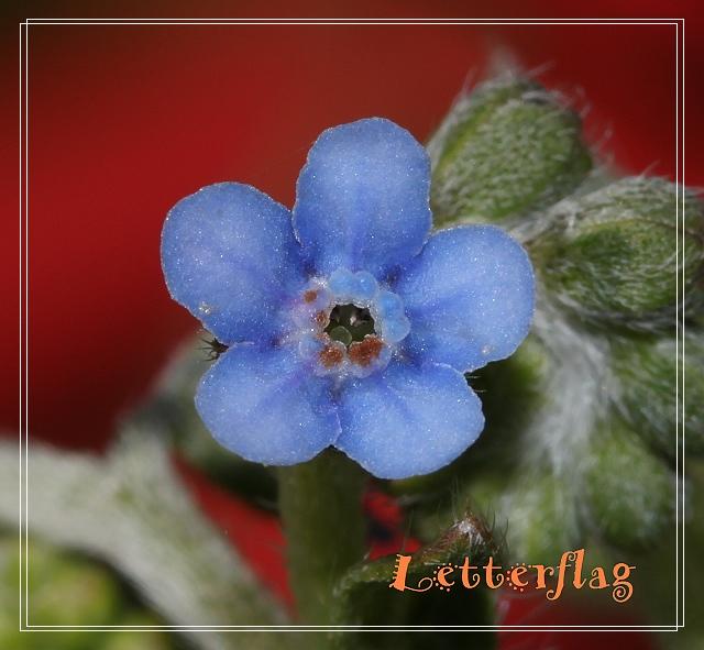 IMG_1691花藍色,小花倒提壺淺藍.JPG