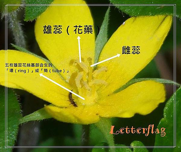 IMG_6173蓬萊珍珠菜.JPG