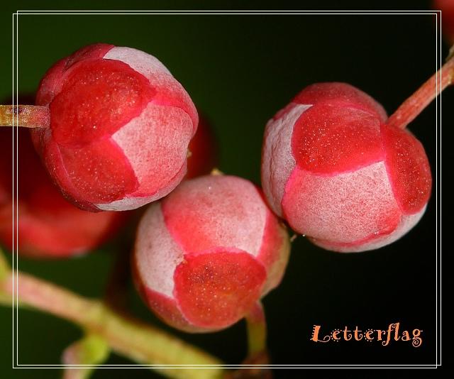 IMG_8376枝條方形,具稜,果熟紅色.JPG