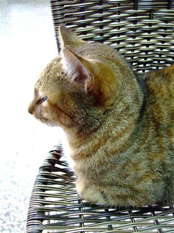 舞鶴茶莊的貓