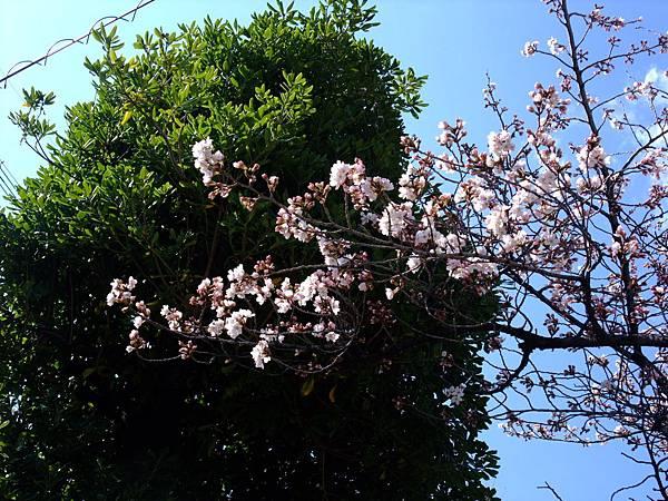 2012-0404-07櫻花