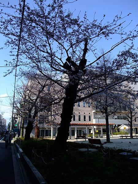 2012-0404-19櫻花