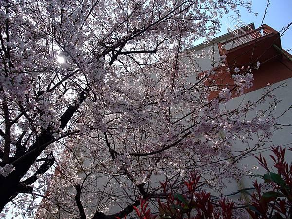 2012-0405-05路邊的櫻花