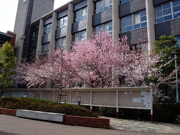 2012-0406-04新町校區的櫻花