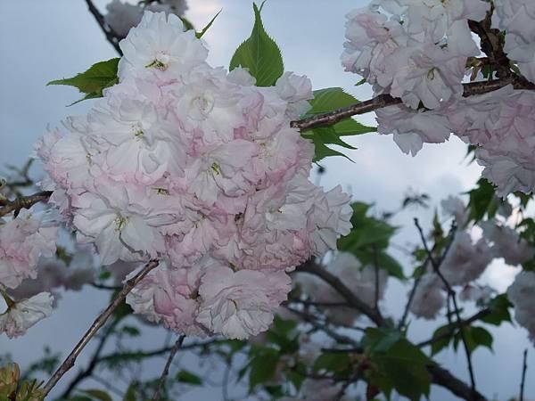 2012-0423-38鴨川櫻花