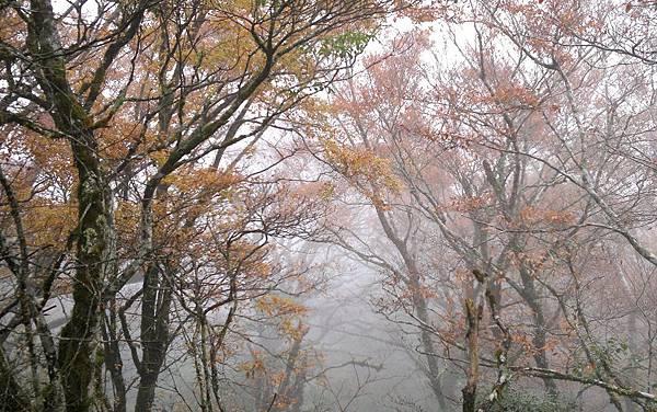 迷霧中的山毛櫸