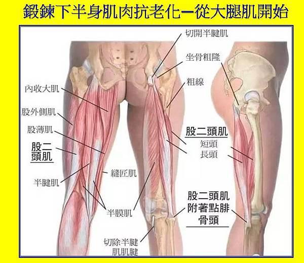鍛鍊下半身肌肉抗老化—從大腿肌開始.jpg