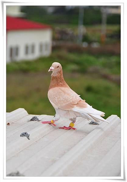 橘斑鴿02