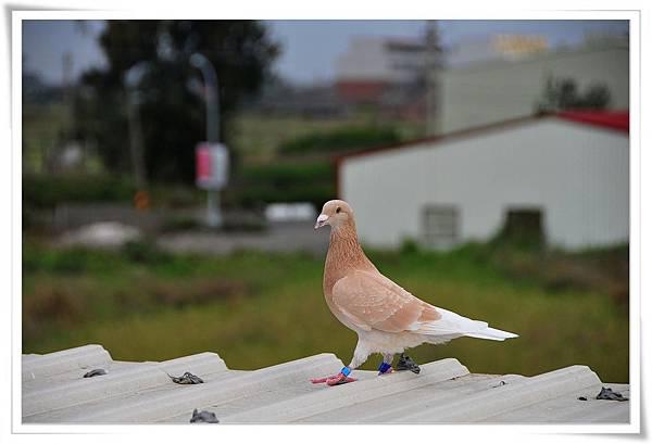 橘斑鴿03