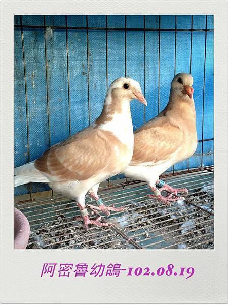 102.08.19-橘幼鴿