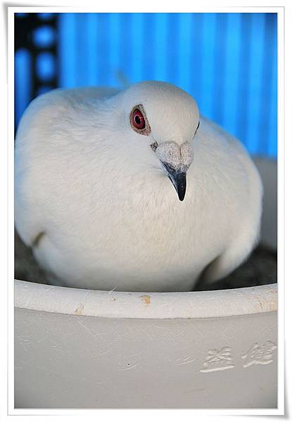 白鴿種公孵蛋