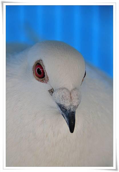 白鴿種公-西仔眼黑嘴