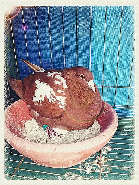 幕利門母鴿孵蛋