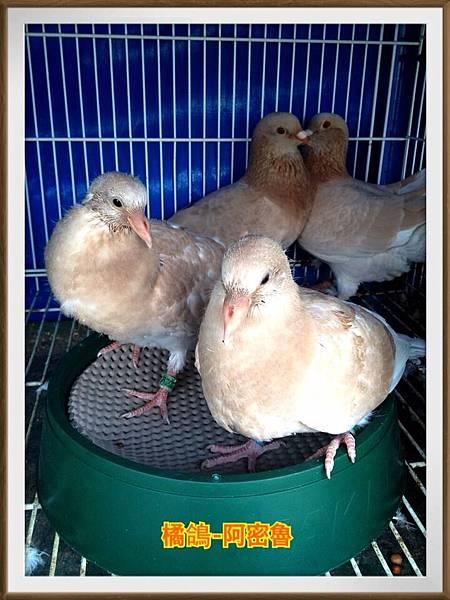102-11.23-阿密魯幼鴿