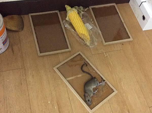 黏鼠板01