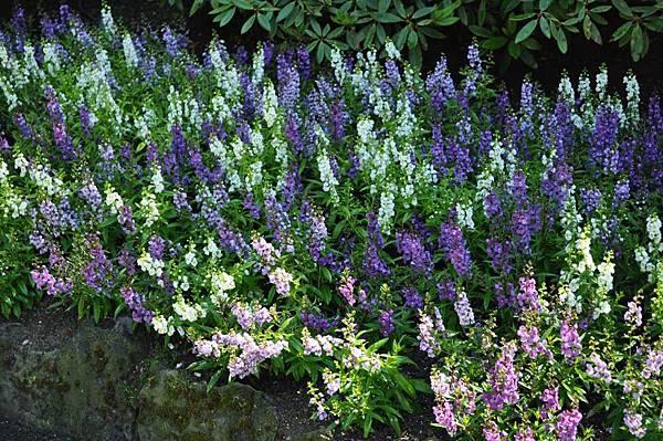 gardens-lavender