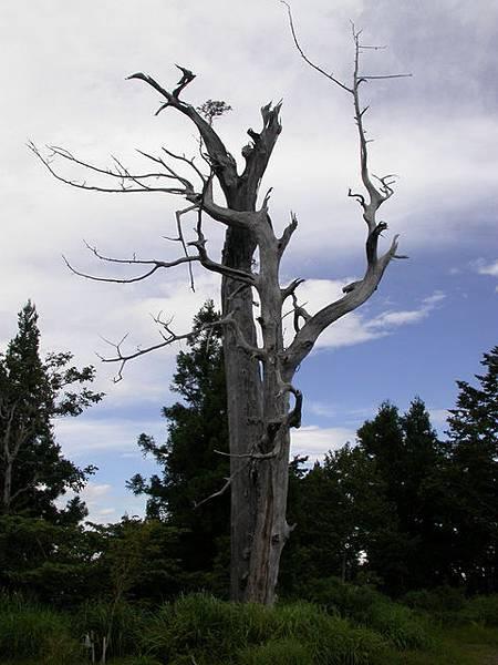 而太平山上的枯樹,巍峨站立在山峰入口,用殘餘的生命呼喚過客:何不放慢腳步,看看我千年不移的身影,你何必太過匆忙!