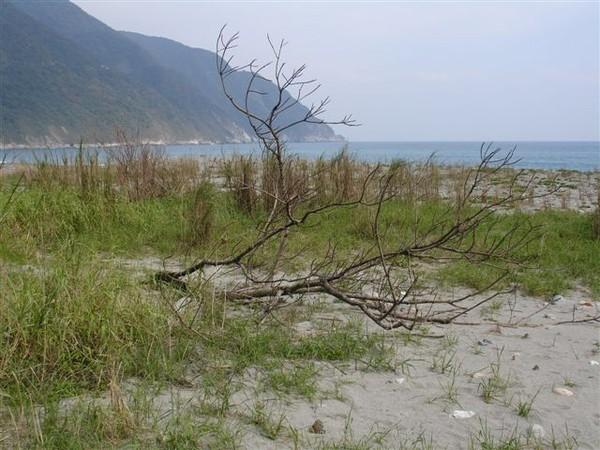 東澳礫攤旁的枯木