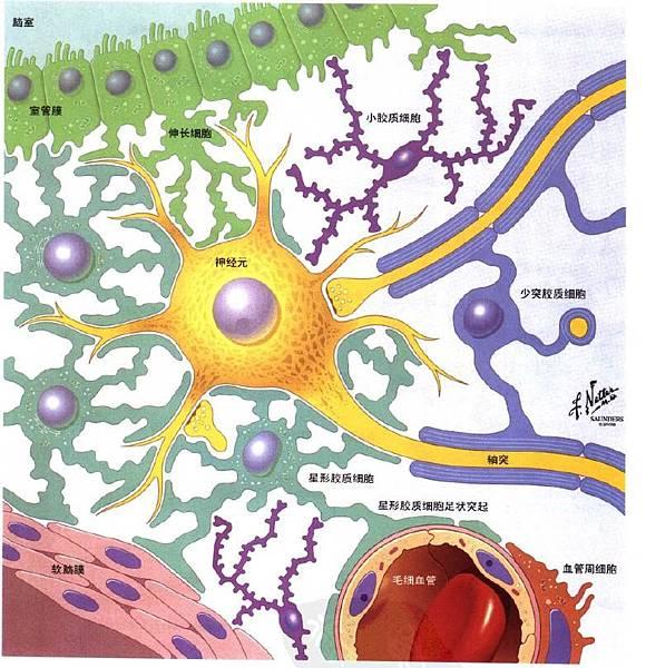 astrocyte.JPG