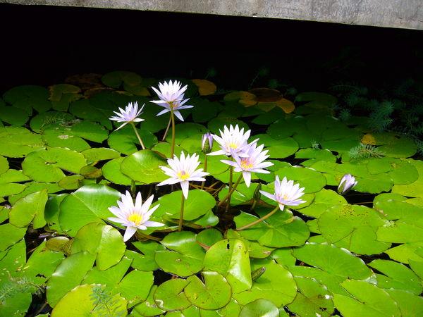 傳藝中心的蓮花