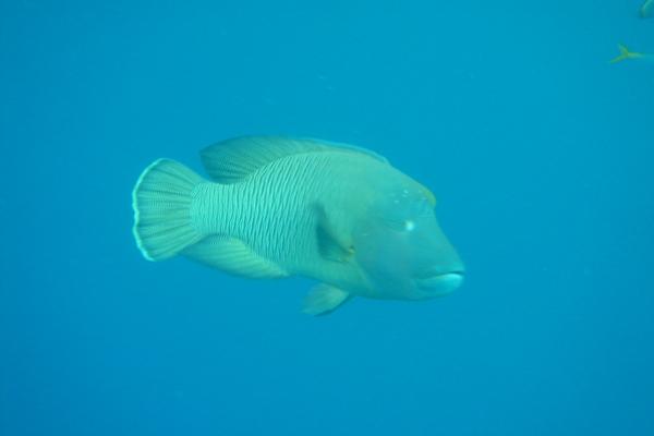 帛琉國寶蘇眉魚(photo by Charlie)