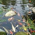 三室戶寺- 肥嫩魚兒水中游