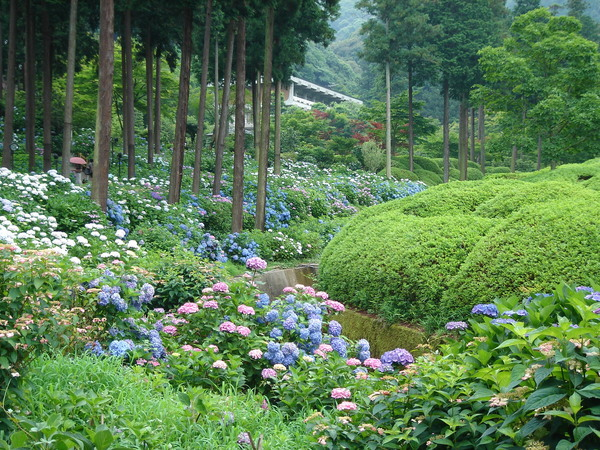 三室戶寺-紫陽花園